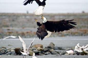 Bald eagles fighting over food.