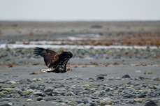 A juvenile bald eagle takes flight.