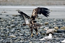 Juvenile Bald Eagle Takes Flight