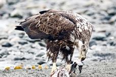 A juvenile eagle catching a bite.