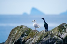 A Kittiwake Sea Gull and a Double-Crested Cormorant