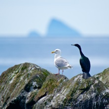 A Kittiwake Sea Gull and a Double-Crested Cormorant