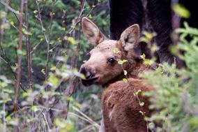A baby moose!