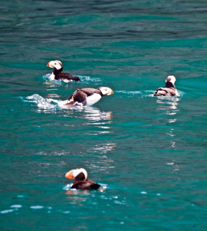Horned and Tufted Puffins