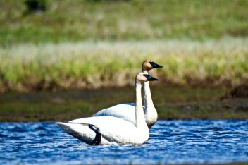 Two swans on the Moose River