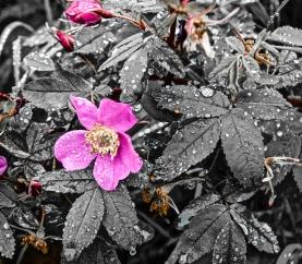 Alaskan Wild Rose