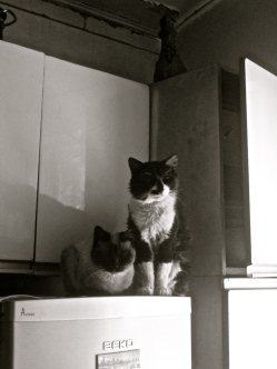 My host cats, Jackson and Alex, sit atop the refridgerator.